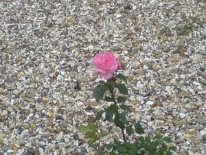spiritual rose.